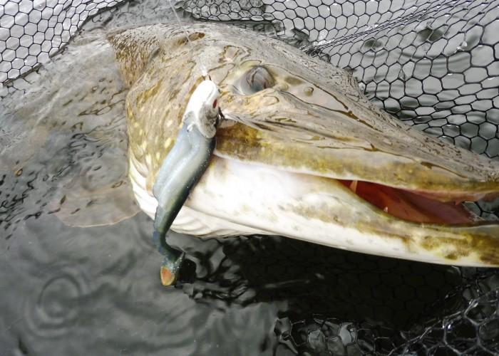 Drömfiske ifrån kajaken med toppfisk på 120cm och 11,7kg
